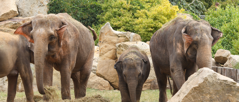 elefanter-praha-zoo-dyrehage